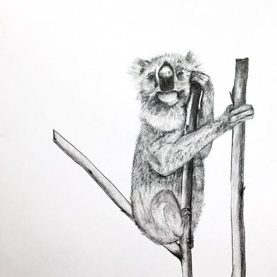 Koala Pencil on paper 18 x 24 in (45.7 x 61 cm) 2016